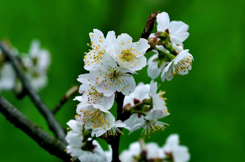Prunus avium seed