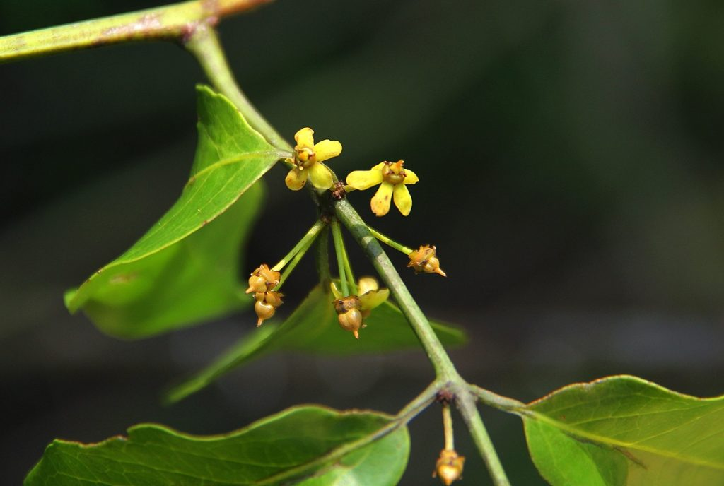 Salacia leptoclada seed