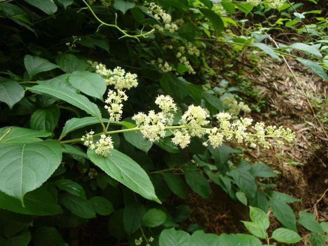 Tripterygium wilfordii seed