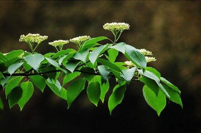 Cornus controversa tree seed