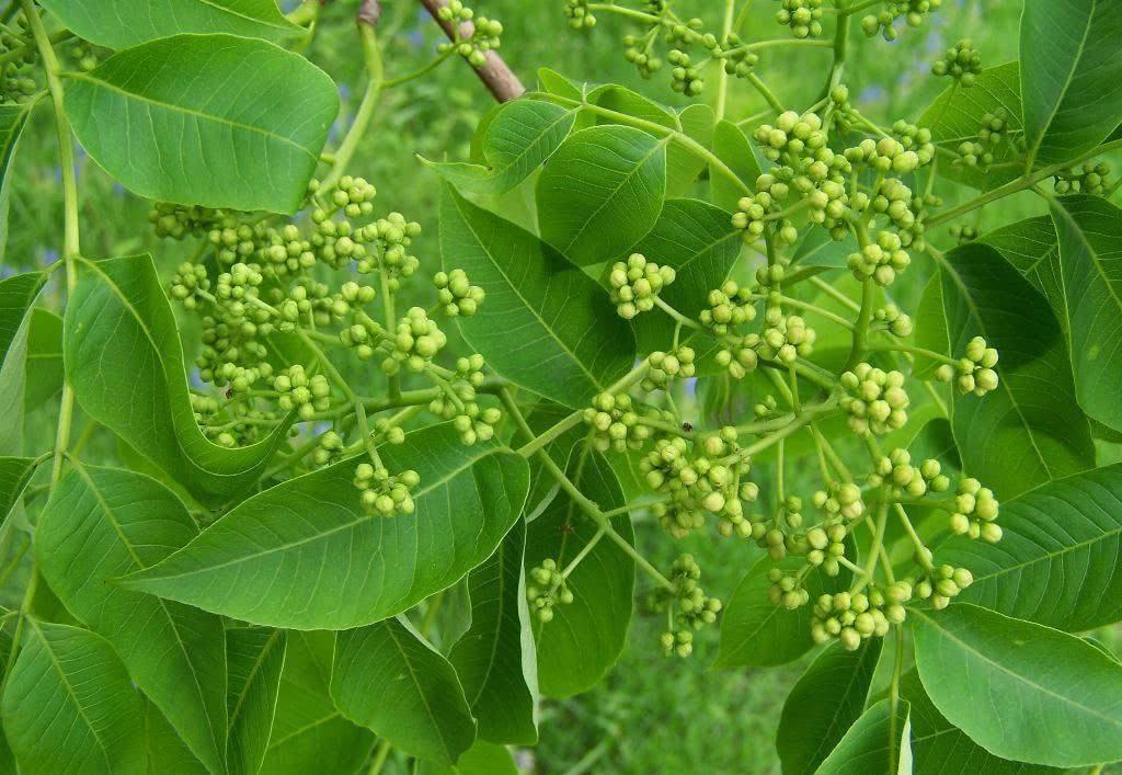 Phellodendron chinense seed