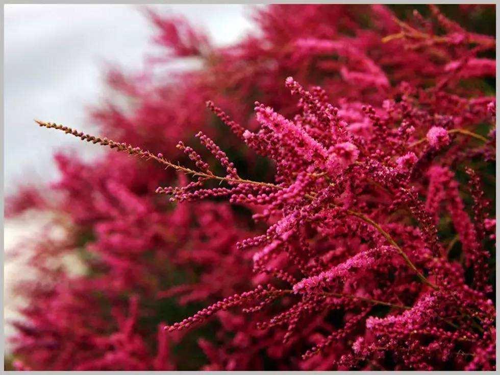 Tamarix ramosissima seed