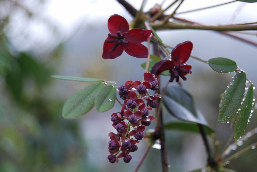 Holboellia latifolia seed