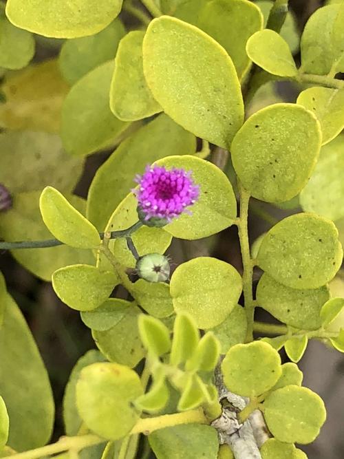 Karelinia caspia seed