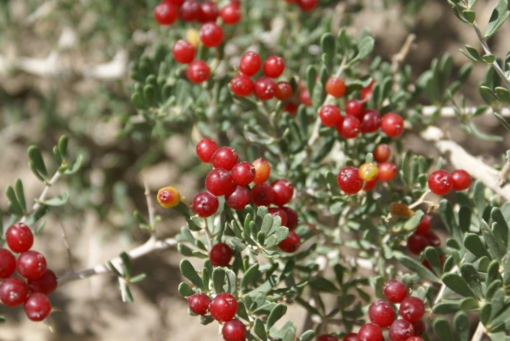 Nitraria tangutorum seed