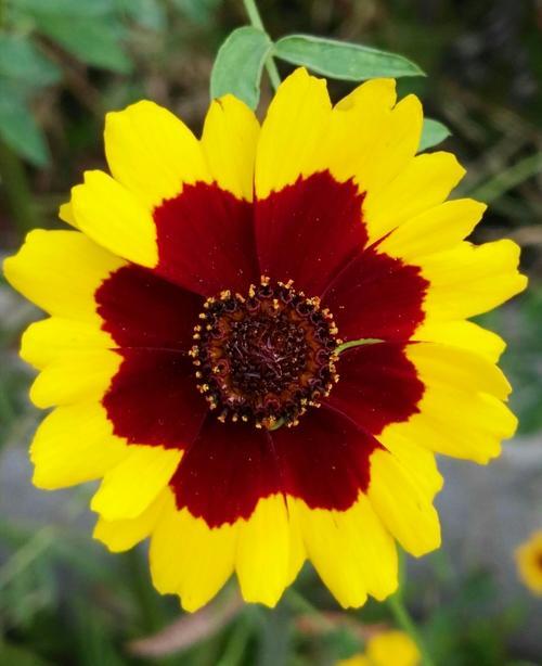 Coreopsis tinctoria seed