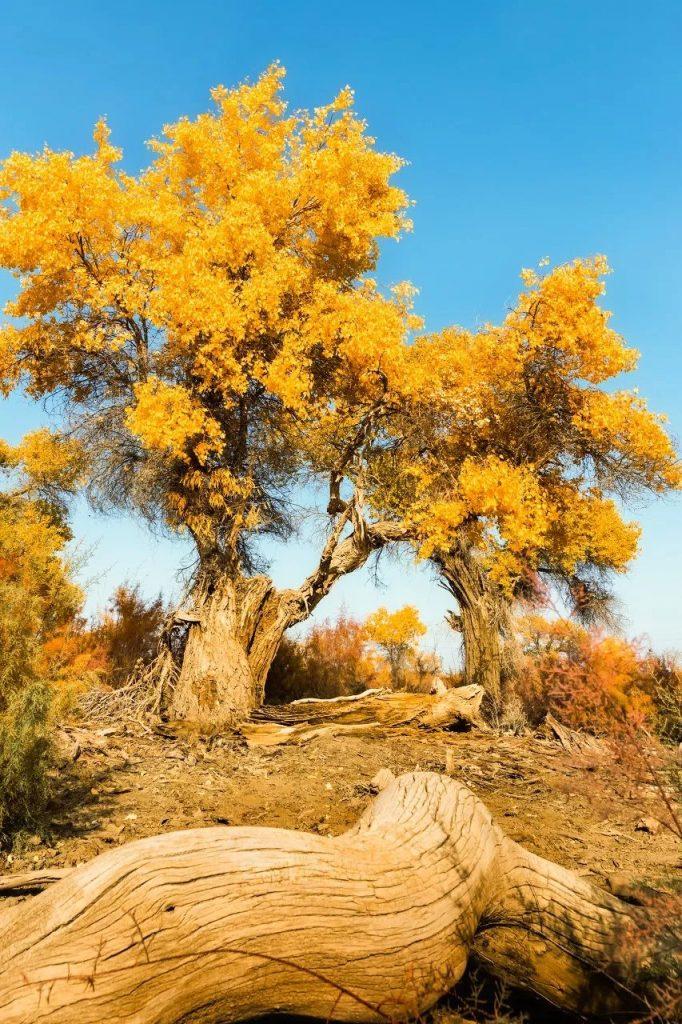 Populus euphratica seed