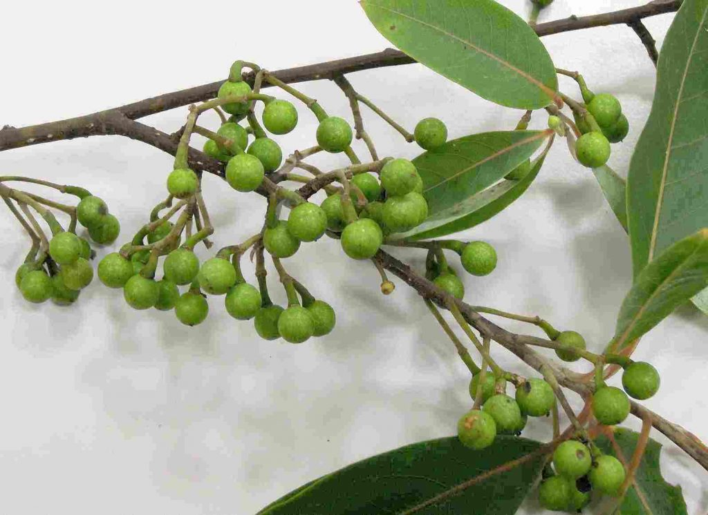 Lindera Angustifolia seed