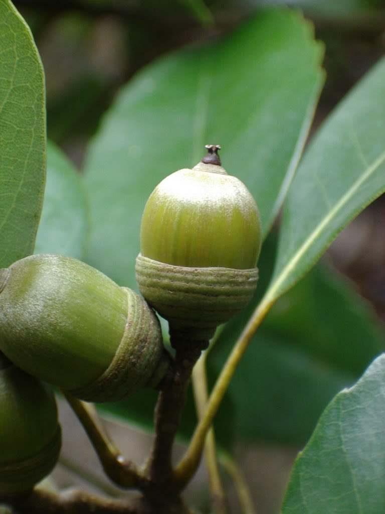 Cyclobalanopsis myrsinifolia seed