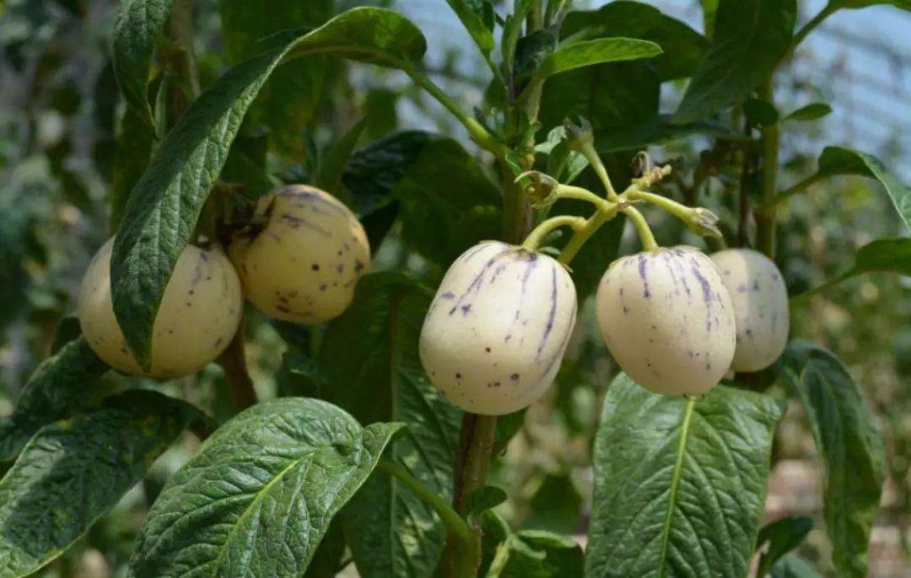 Solanum muricatum seed