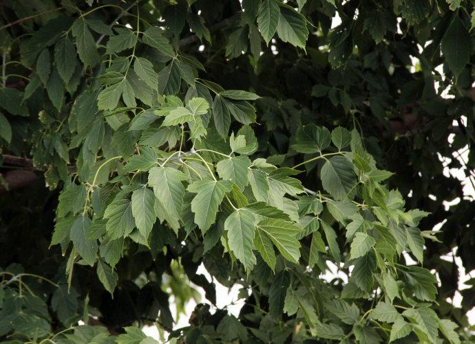 Acer pensylvanicum seed