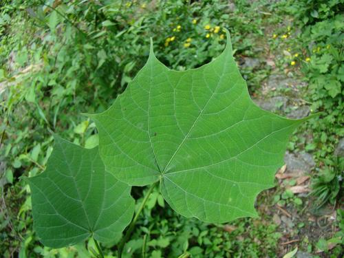 Alangium platanifolium seed