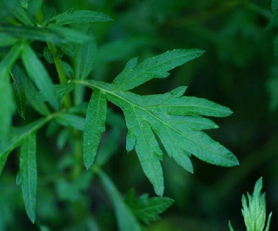 Artemisia vulgaris seed