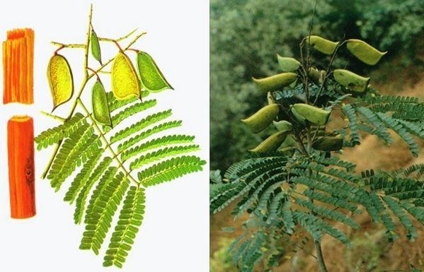Biancaea sappan seed