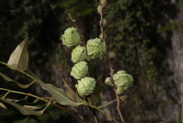 Castanopsis carlesii seed