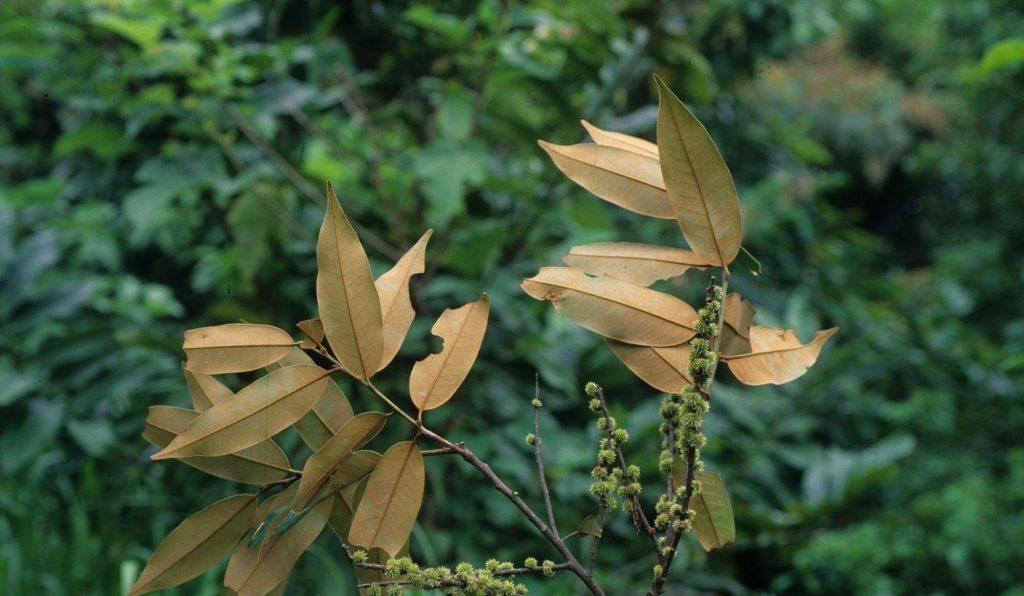 Castanopsis echinocarpa seed