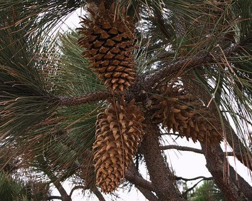Coulter pine seed