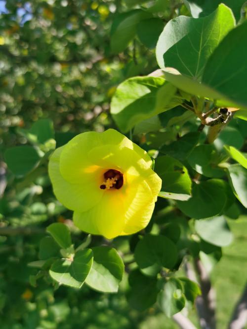 Hibiscus tiliaceus seed