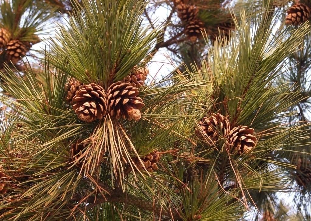 Pinus jeffreyi seed
