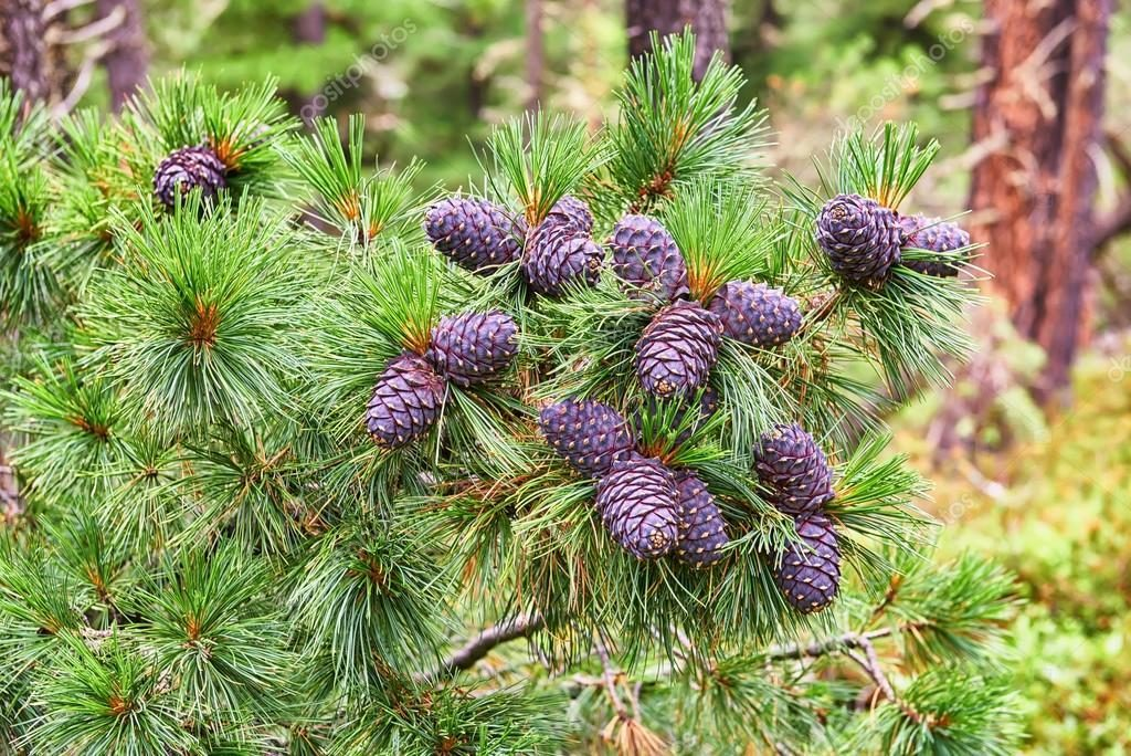 Pinus sibirica seed
