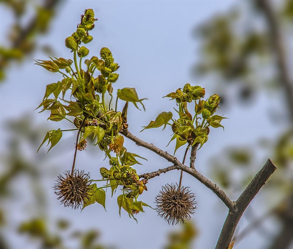 Platanus orientalis seed