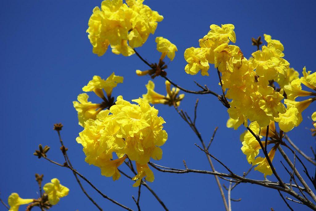 Tabebuia aurea seed