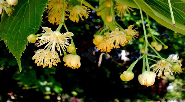 Tilia mandshurica seed