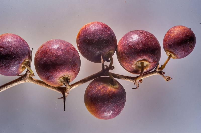 Ziziphus Nummularia seed