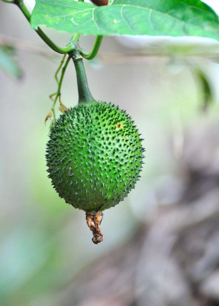 Momordica subangulata seed