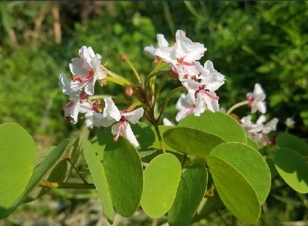 Phanera vahlii seed