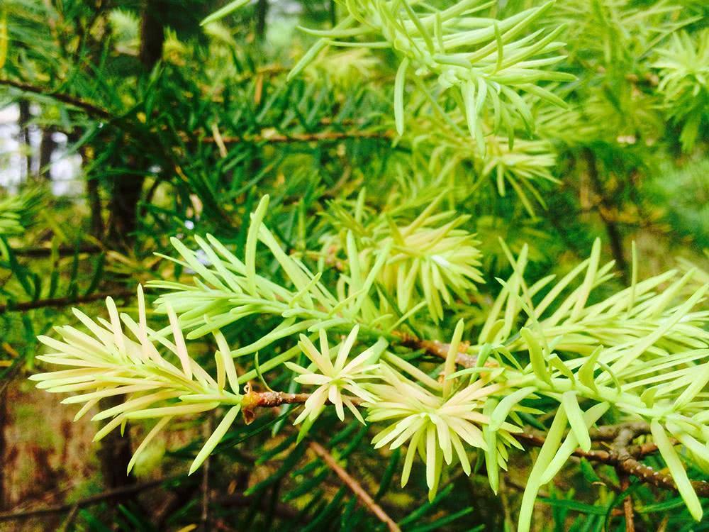 Pinus edulis seed
