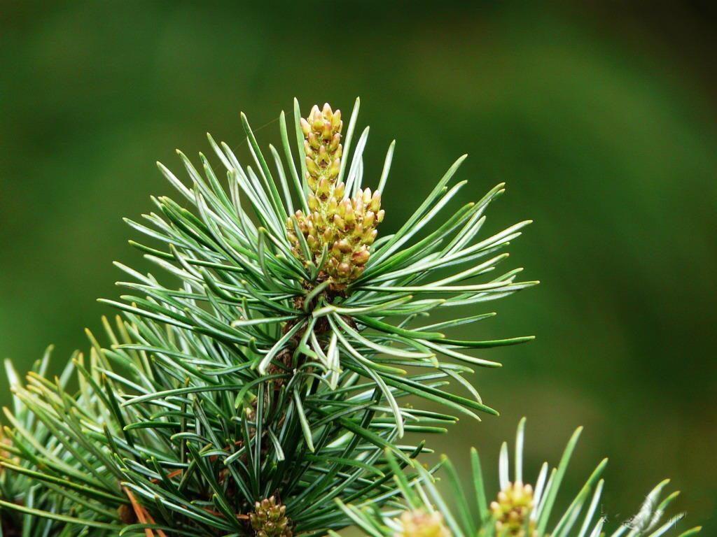 Pinus fenzeliana seed