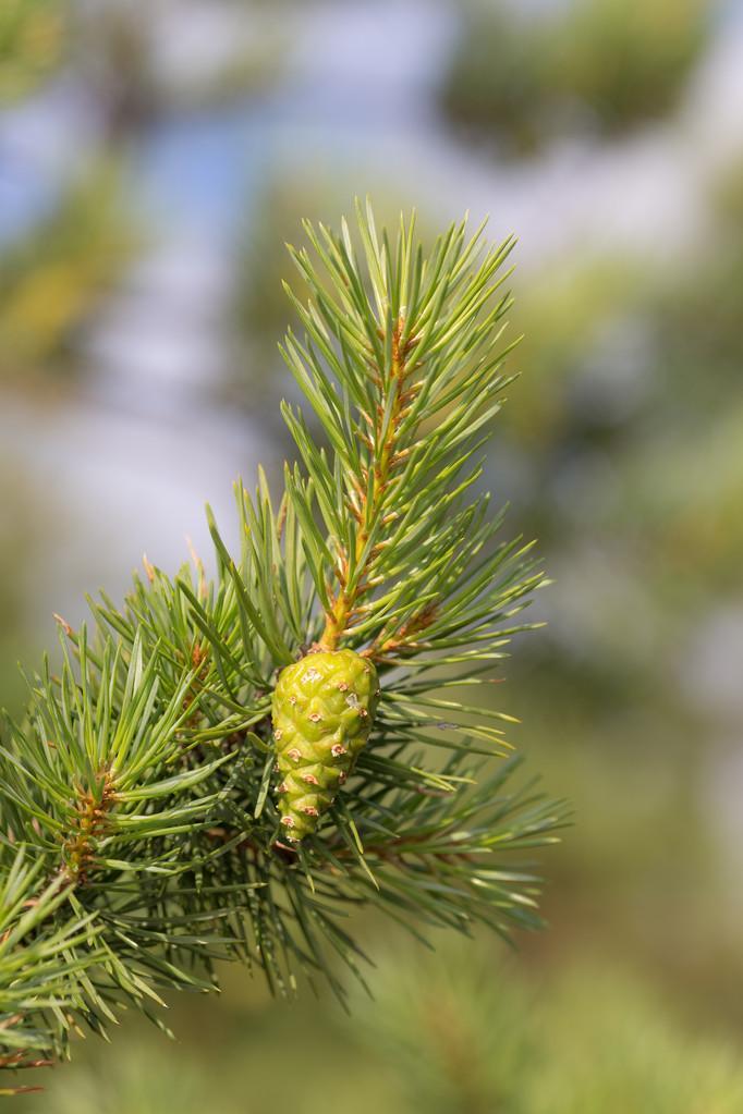 Pinus sabiniana seed