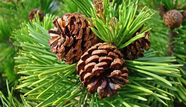 Pinus strobiformis seed