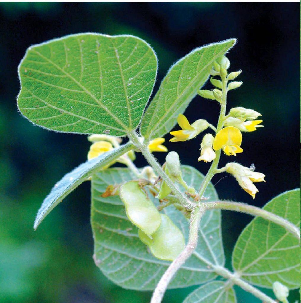 Rhynchosia himalensis seed