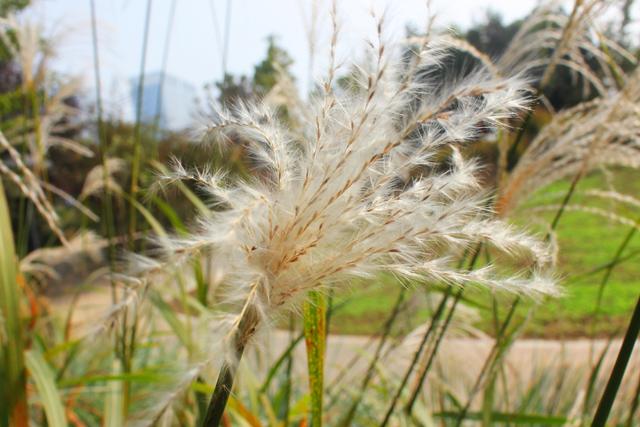 Saccharum Ravennae seed