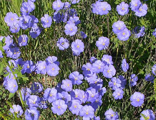 Blue Flax Linum perenne