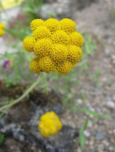 Gelber Leberbalsam seed