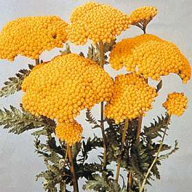 Yellow Yarrow Achillea filipendulina 'Cloth of Gold'