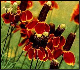 Ratibida columnifera Yellow Coneflower