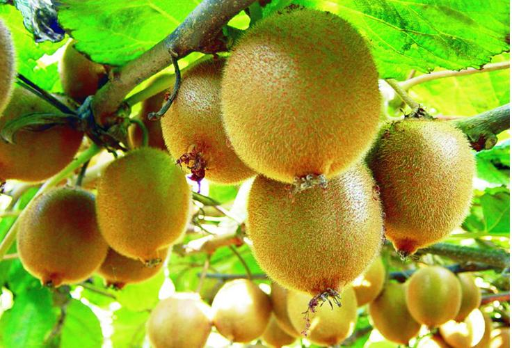 actinidia chinensis seeds haywood kiwi fruit zhong wei horticultural products company top. Black Bedroom Furniture Sets. Home Design Ideas