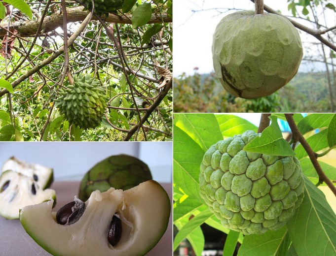Annona squamosa seed | ZHONG WEI Horticultural Products ...