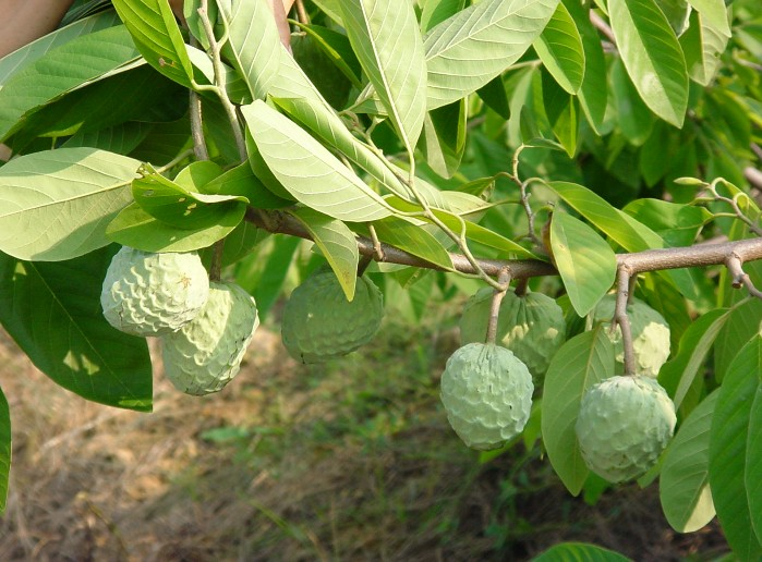 how to grow sugar apple from seed