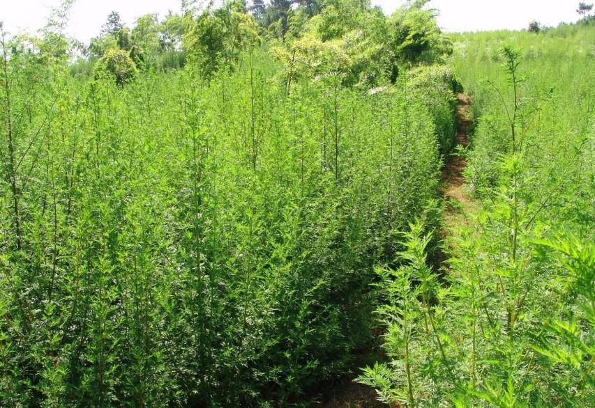 Annua Seeds Artemisia Annua Seed Artemisia