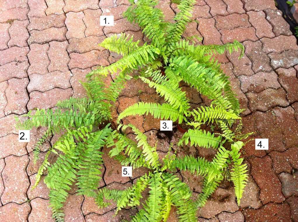 Biophytum Sensitivum seed