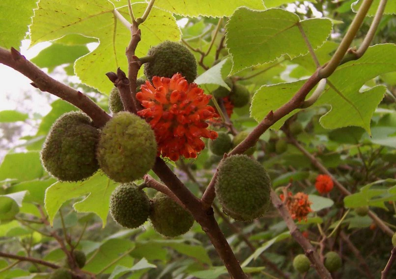 how to grow a mulberry tree from seed