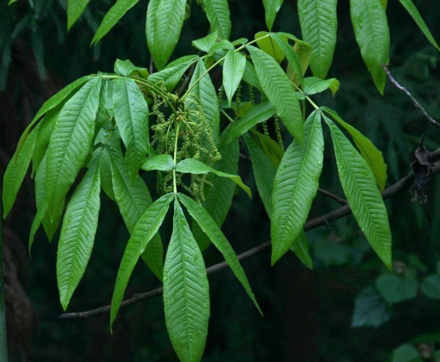 Carya glabra seed