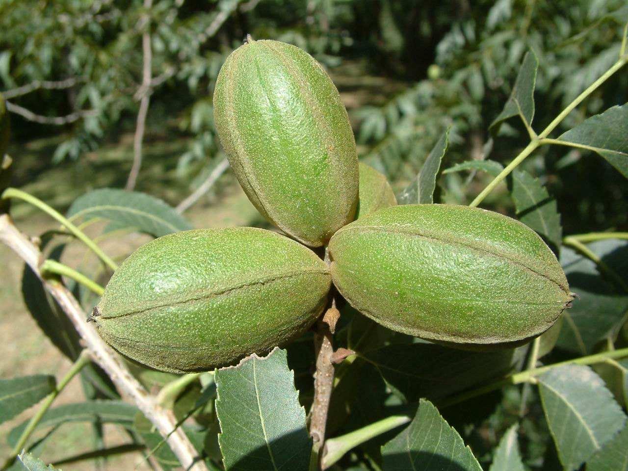 Carya illinoinensis seed