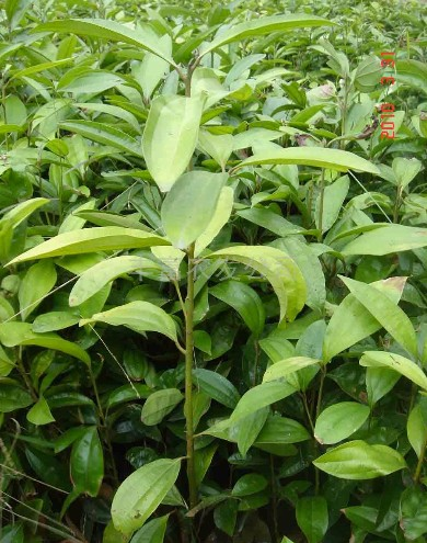 Cassia Cinnamon seed Cinnamomum aromaticum   ZHONG WEI ...