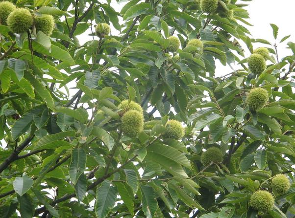 how to grow chinese chestnut from seed